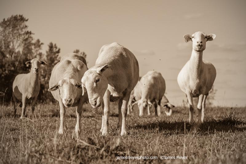 Sheep-II